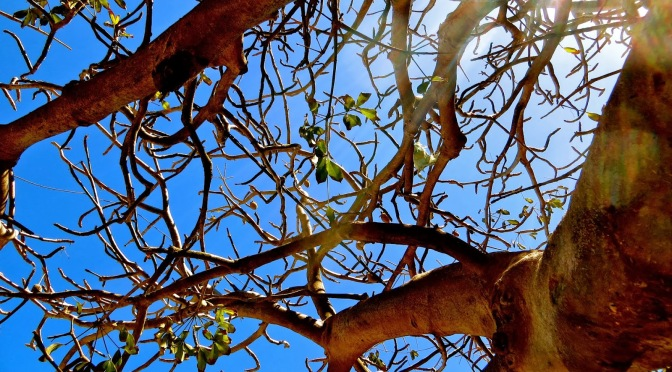 Conte et légende de baobabs